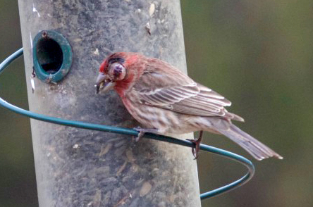 House-finch-with-eye-disease-2-500x356