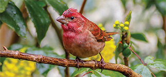 PurpleFinch-StephenDaly-ann-mtg-2